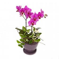 [N15][HP015] Delight Phalaenopsis Orchid(Pink) (60021091)