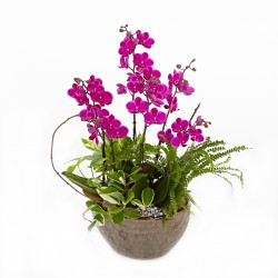 Butterfly Manchunhong Orchid [N15][MP005]