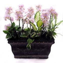 Pink mini Phalaenopsis 4(OFD-069)