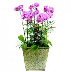 Pink Phalaenopsis 2 (OFD-074)