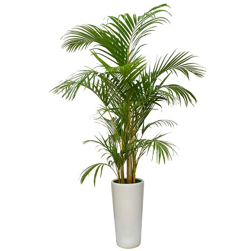 Areca palm tree for Pictures of areca palm plants