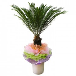 Cycas revoluta Thunb(OFH-020)