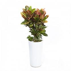 Croton (OFH-022)
