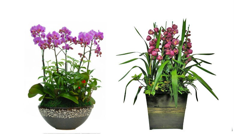 Orchid for valuable gift for any occasions.