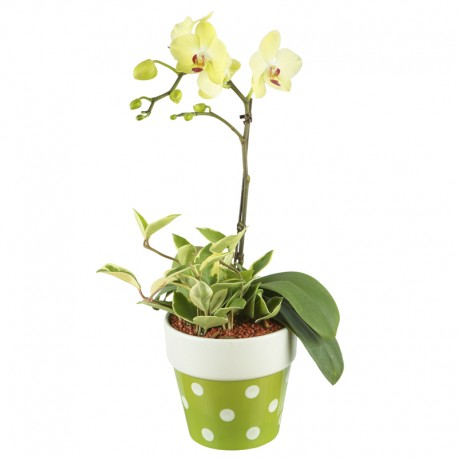 Mini Phalaenopsis Orchid(Yellow) A type (6002039)