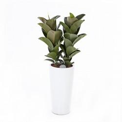 [N15] Ficus elastica (S) (2004081)