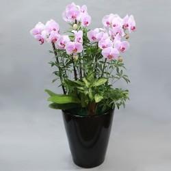 Light Pink Phalaenopsis A (2004091)