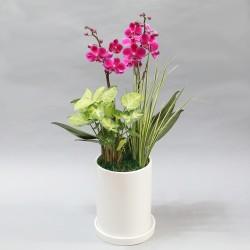 Manchunhong Orchid F (2004092)