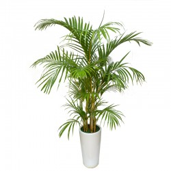 Areca Palm Tree(ofe-029)