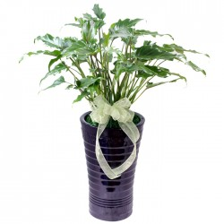 Philodendron Selloum(OFH-019)