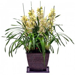 Yellow Cymbidium 4(2095)